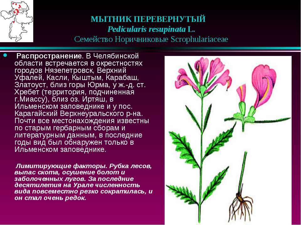 МЫТНИК ПЕРЕВЕРНУТЫЙ  Pedicularis resupinata L.  Семейство Норичниковые Sc...