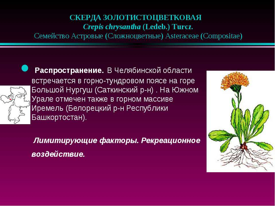 СКЕРДА ЗОЛОТИСТОЦВЕТКОВАЯ  Crepis chrysantha (Ledeb.) Turcz.  Семейство А...