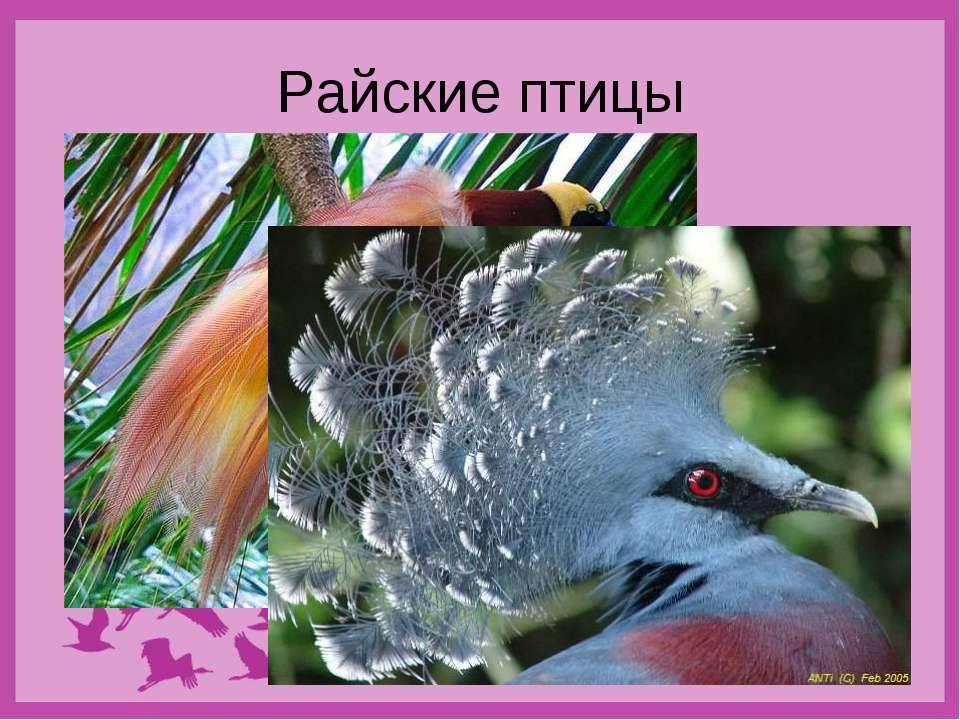 Райские птицы