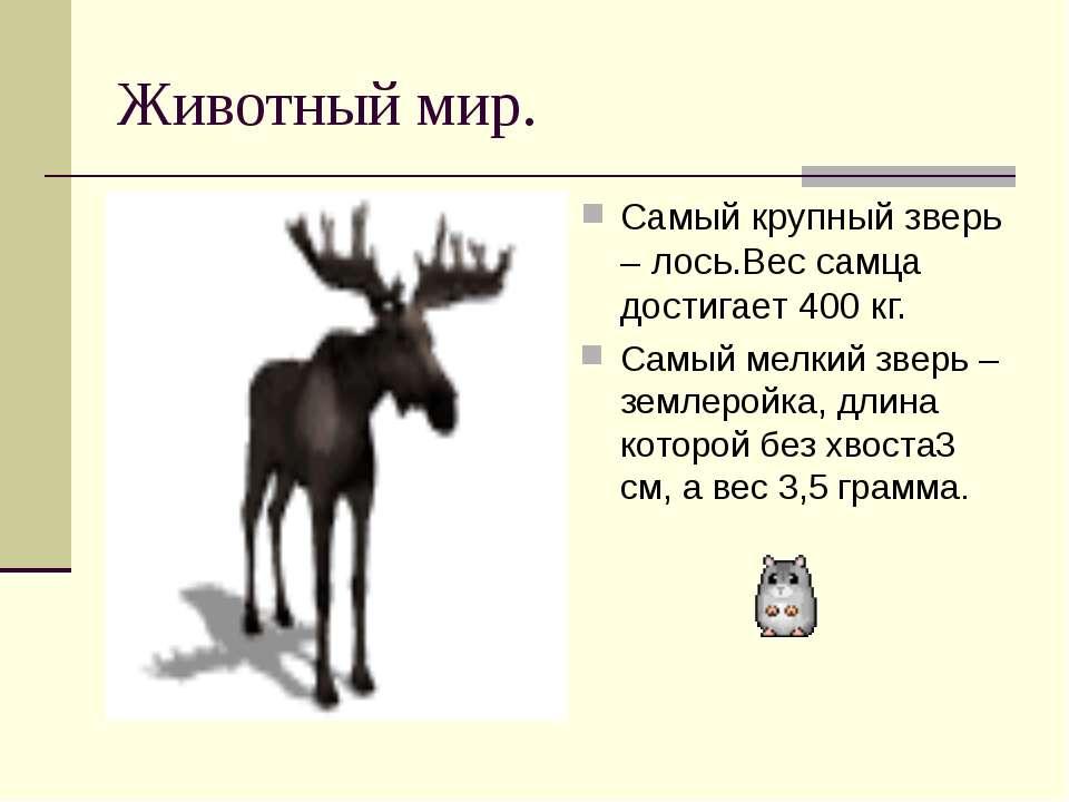 Животный мир. Самый крупный зверь – лось.Вес самца достигает 400 кг. Самый ме...
