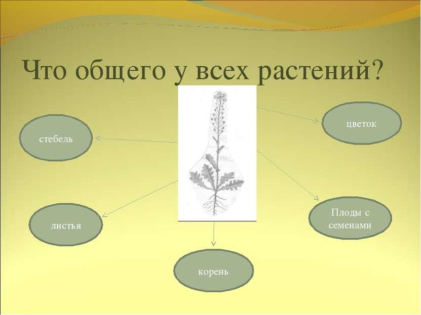 Что общего у всех растений? стебель цветок корень листья Плоды с семенами