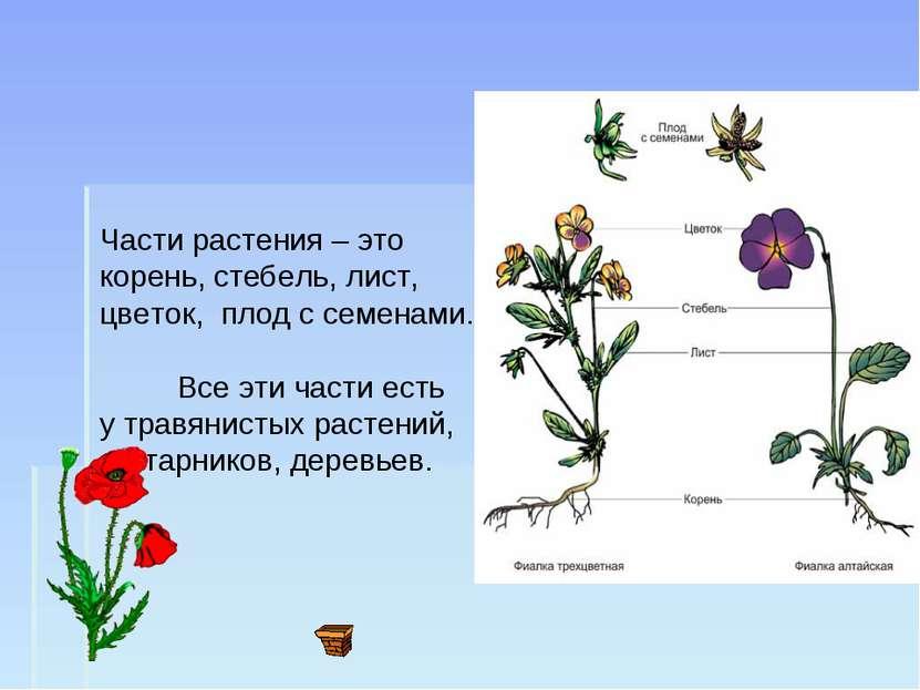 Части растения – это корень, стебель, лист, цветок, плод с семенами. Все эти ...
