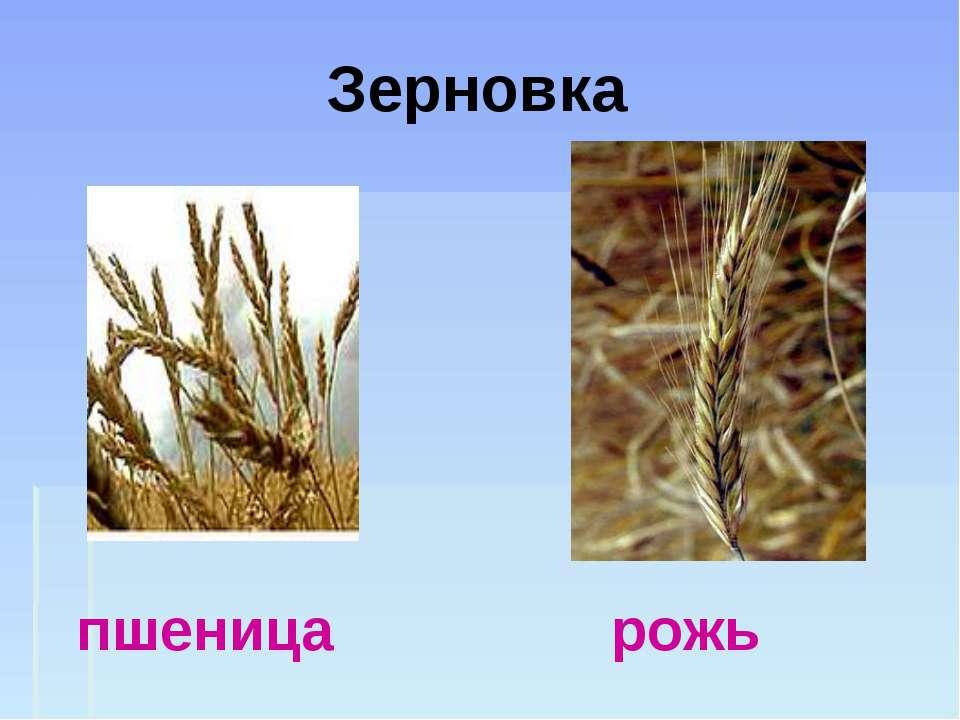 Зерновка пшеница рожь