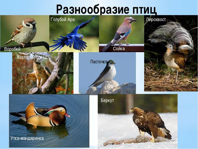Разнообразие птиц Воробей Голубой Ара Сойка Лирохвост Ласточка Беркут Утка-ма...