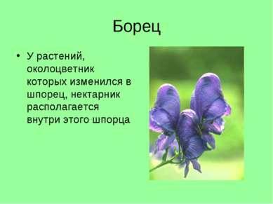 Борец У растений, околоцветник которых изменился в шпорец, нектарник располаг...