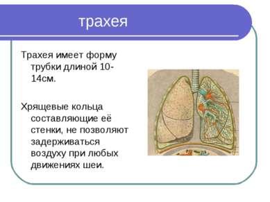 трахея Трахея имеет форму трубки длиной 10-14см. Хрящевые кольца составляющие...