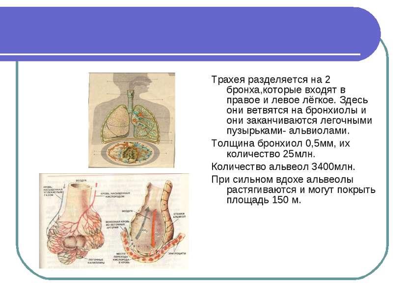 Трахея разделяется на 2 бронха,которые входят в правое и левое лёгкое. Здесь ...