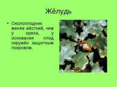 Жёлудь Околоплодник менее жёсткий, чем у ореха, у основания плод окружён защи...