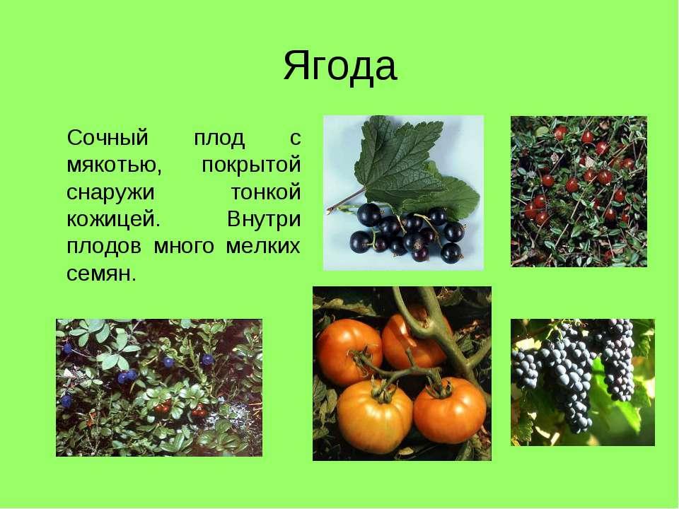 Ягода Сочный плод с мякотью, покрытой снаружи тонкой кожицей. Внутри плодов м...