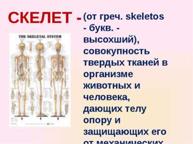 СКЕЛЕТ - (от греч. skeletos - букв. - высохший), совокупность твердых тканей ...