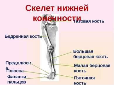 Скелет нижней конечности Тазовая кость Бедренная кость Большая берцовая кость...
