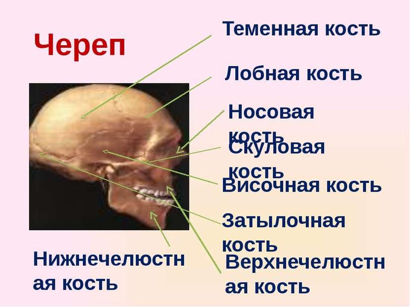 Теменная кость Височная кость Лобная кость Затылочная кость Носовая кость Вер...
