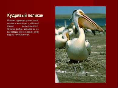 Кудрявый пеликан Населяет труднодоступные озера, низовья и дельты рек с обиль...