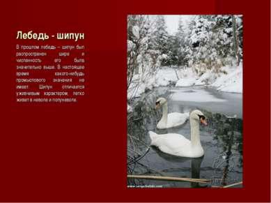 Лебедь - шипун В прошлом лебедь – шипун был распространен шире и численность ...