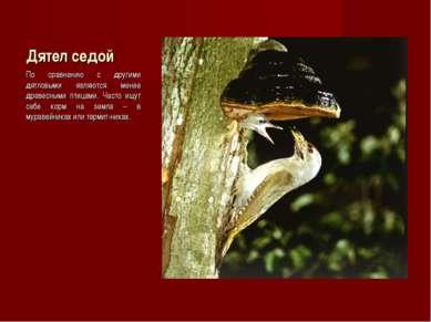 Дятел седой По сравнению с другими дятловыми являются менее древесными птицам...