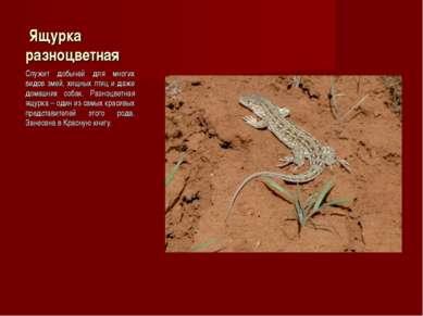 Ящурка разноцветная Служит добычей для многих видов змей, хищных птиц и даже ...