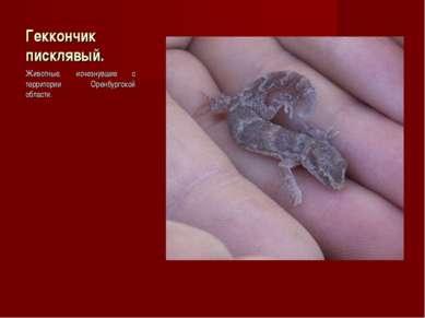 Геккончик писклявый. Животные, исчезнувшие с территории Оренбургской области.