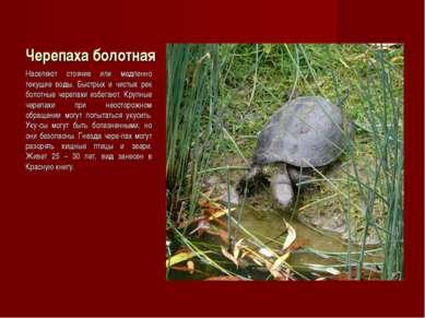 Черепаха болотная Населяют стоячие или медленно текущие воды. Быстрых и чисты...