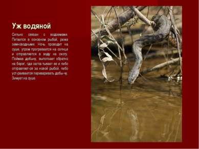 Уж водяной Сильно связан с водоемами. Питается в основном рыбой, реже земново...