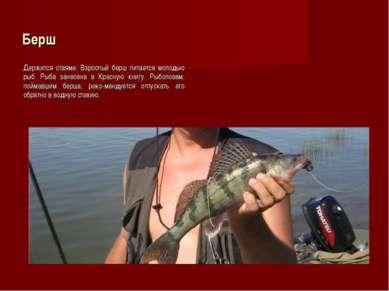 Берш Держится стаями. Взрослый берш питается молодью рыб. Рыба занесена в Кра...