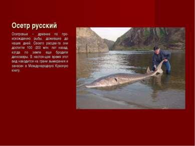 Осетр русский Осетровые – древние по про-исхождению рыбы, дожившие до наших д...