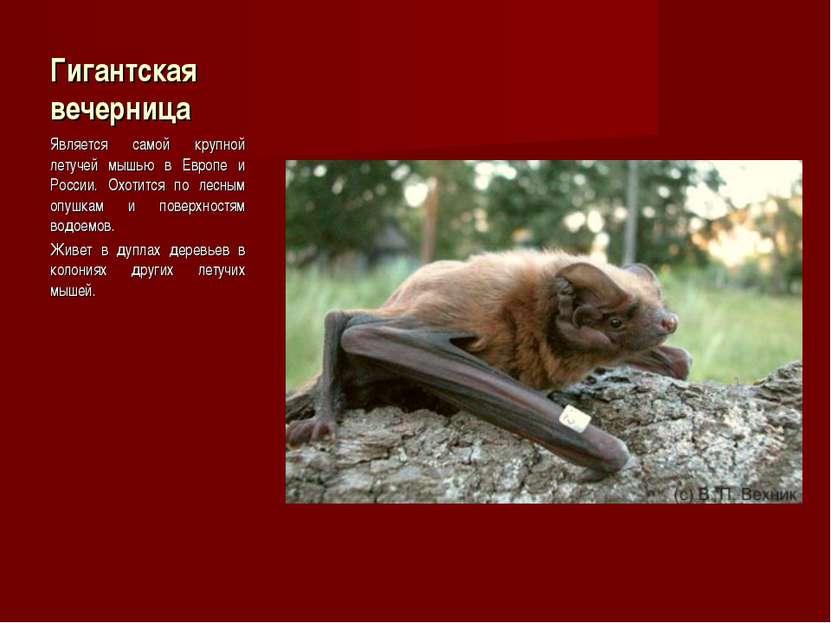 Гигантская вечерница Является самой крупной летучей мышью в Европе и России. ...