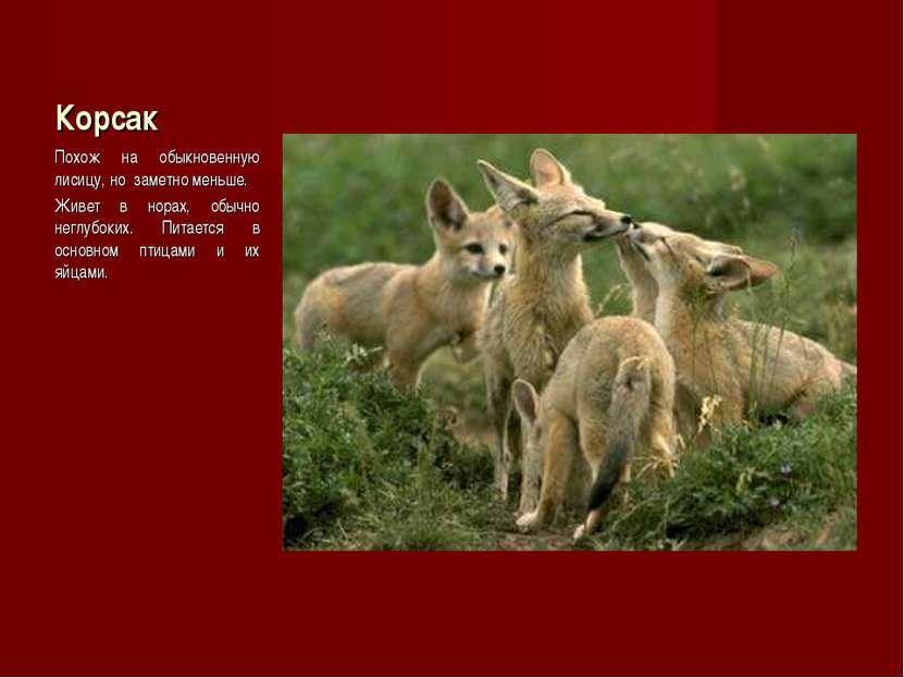 Корсак Похож на обыкновенную лисицу, но заметно меньше. Живет в норах, обычно...