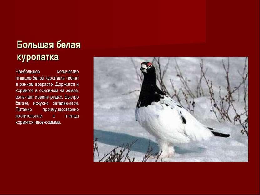 Большая белая куропатка Наибольшее количество птенцов белой куропатки гибнет ...