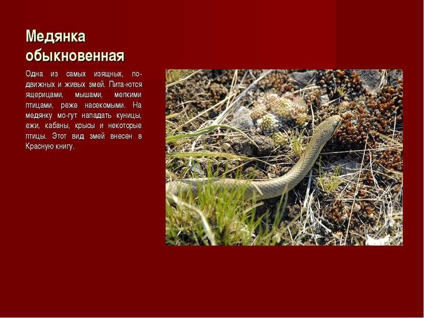 Медянка обыкновенная Одна из самых изящных, по-движных и живых змей. Пита-ютс...