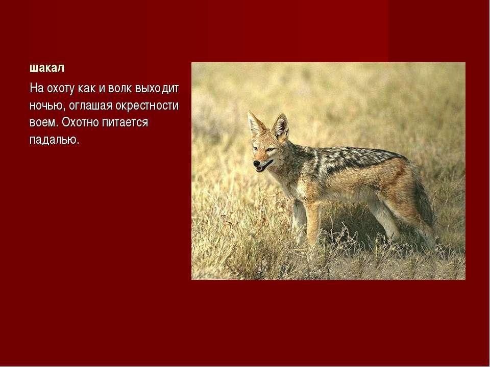 шакал На охоту как и волк выходит ночью, оглашая окрестности воем. Охотно пит...