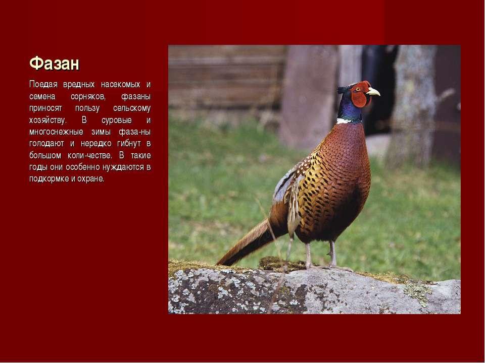 Фазан Поедая вредных насекомых и семена сорняков, фазаны приносят пользу сель...