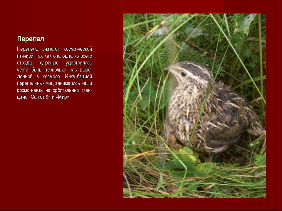 Перепел Перепела считают косми-ческой птичкой, так как она одна из всего отря...