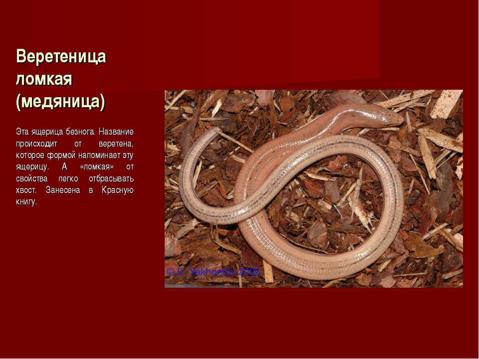 Веретеница ломкая (медяница) Эта ящерица безнога. Название происходит от вере...