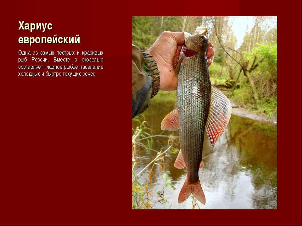 Хариус европейский Одна из самых пестрых и красивых рыб России. Вместе с форе...