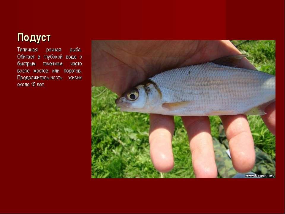 Подуст Типичная речная рыба. Обитает в глубокой воде с быстрым течением, част...