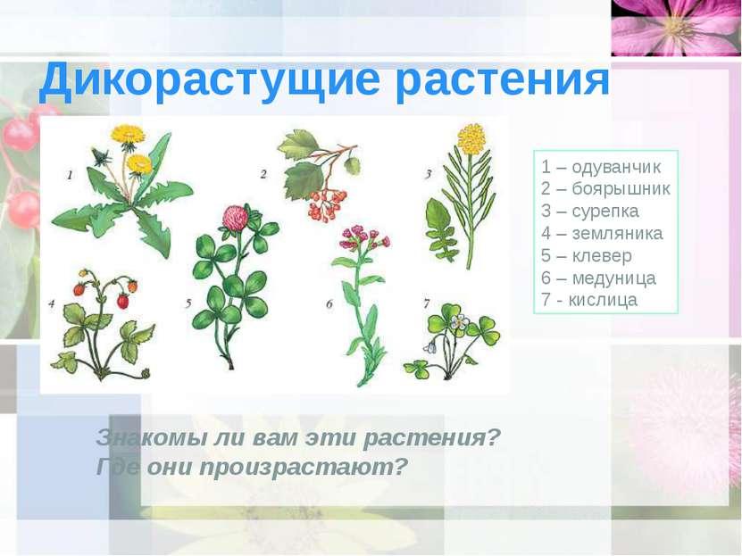 Дикорастущие растения 1 – одуванчик 2 – боярышник 3 – сурепка 4 – земляника 5...