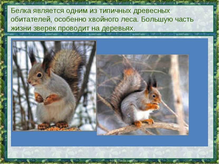 Белка является одним из типичных древесных обитателей, особенно хвойного леса...