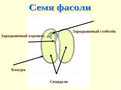 Зародышевый корешок Кожура Семядоли Зародышевый стебелёк