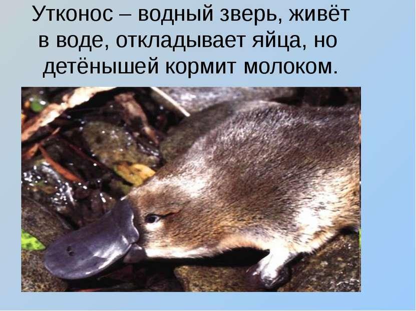 Утконос – водный зверь, живёт в воде, откладывает яйца, но детёнышей кормит м...