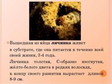Вышедшая из яйца личинка живет в субстрате, где она питается в течение всей с...