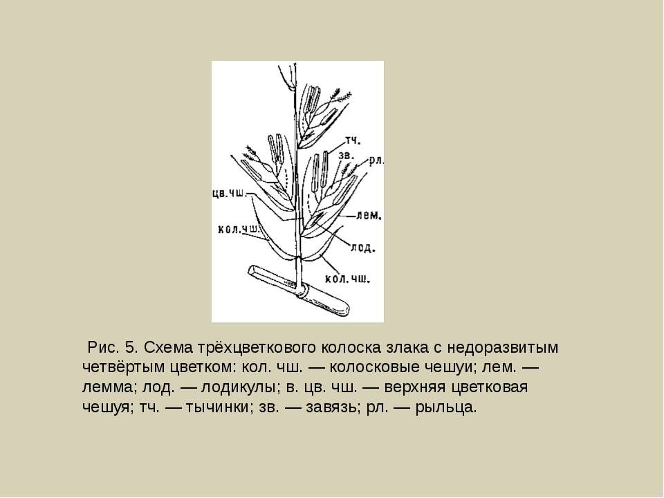 Рис. 5. Схема трёхцветкового колоска злака с недоразвитым четвёртым цветком: ...