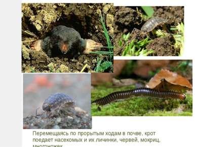 Перемещаясь по прорытым ходам в почве, крот поедает насекомых и их личинки, ч...