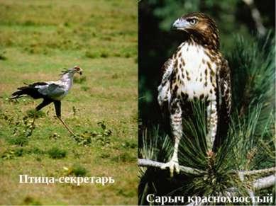 Птица-секретарь Сарыч краснохвостый