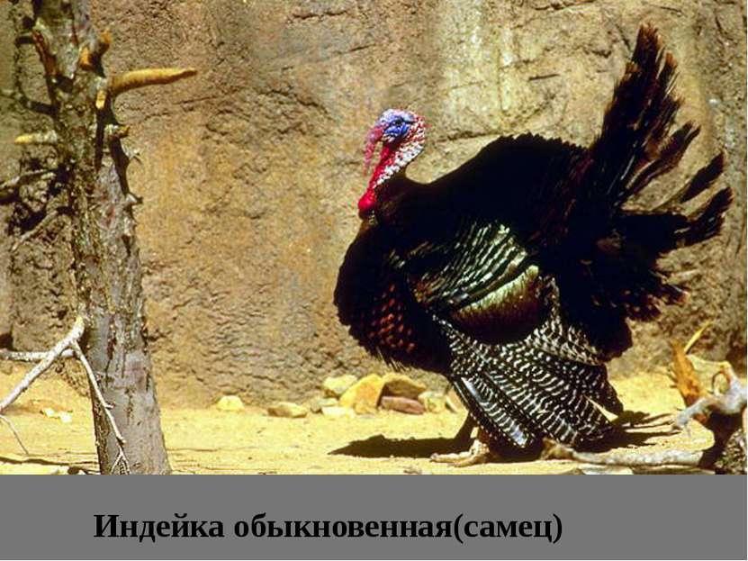 Индейка обыкновенная(самец)