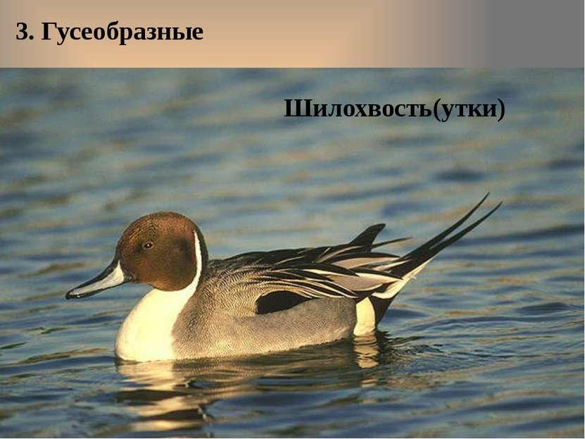 3. Гусеобразные Шилохвость(утки)