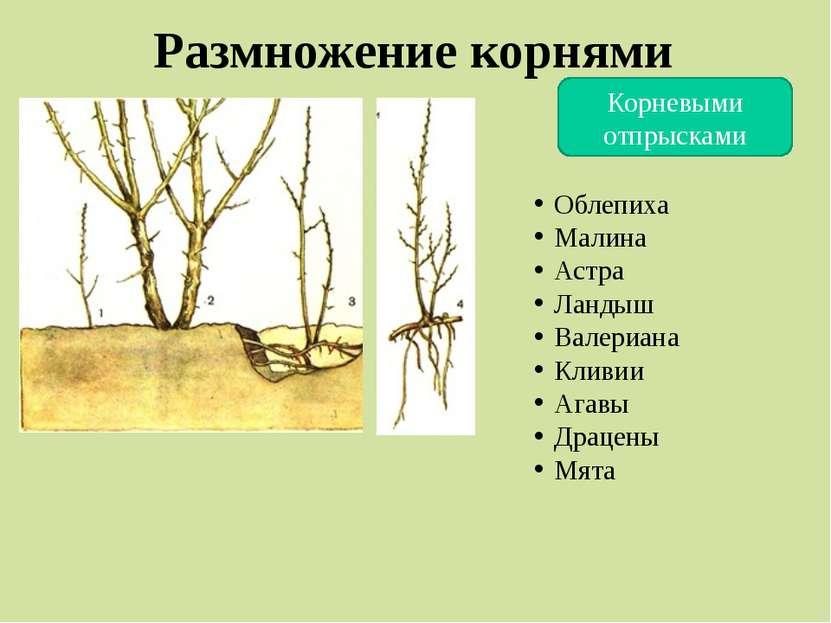 Размножение корнями Корневыми отпрысками Облепиха Малина Астра Ландыш Валериа...