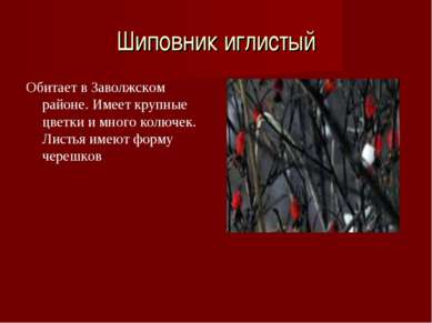 Шиповник иглистый Обитает в Заволжском районе. Имеет крупные цветки и много к...