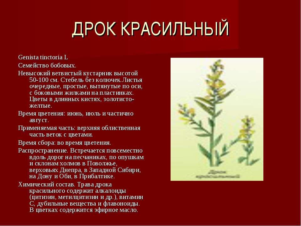 ДРОК КРАСИЛЬНЫЙ Genista tinctoria L Семейство бобовых. Невысокий ветвистый ку...