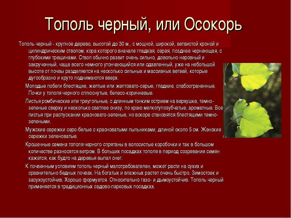 Тополь черный, или Осокорь Тополь черный - крупное дерево, высотой до 30 м., ...