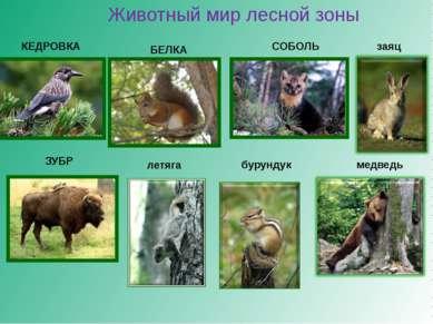 Животный мир лесной зоны КЕДРОВКА СОБОЛЬ БЕЛКА ЗУБР медведь заяц бурундук летяга